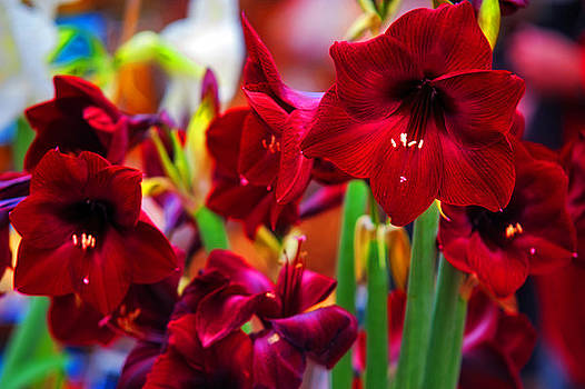 Jenny Rainbow - Crimson Amaryllis. Amsterdam Flower Market