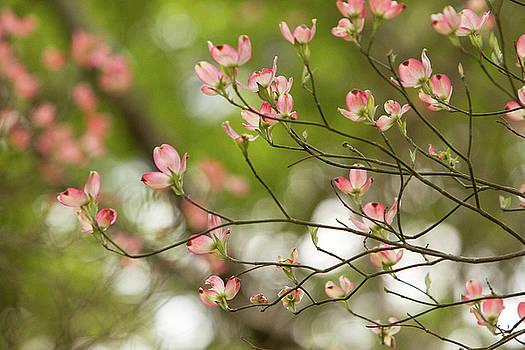 Crimson Dogwood by Deborah Flowers