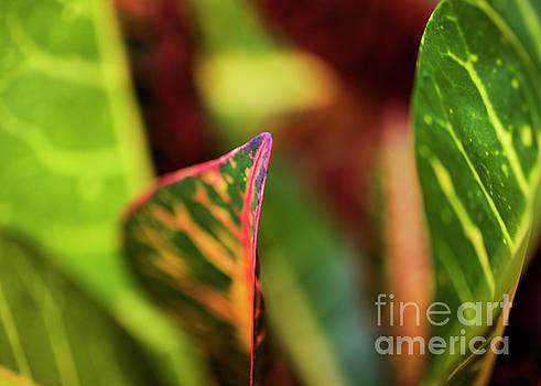 Charmian Vistaunet - Croton Leaf Macro I