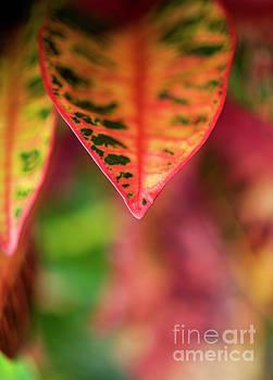 Charmian Vistaunet - Croton Leaf Macro II