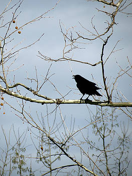 Crow in Sycamore by Azthet Photography