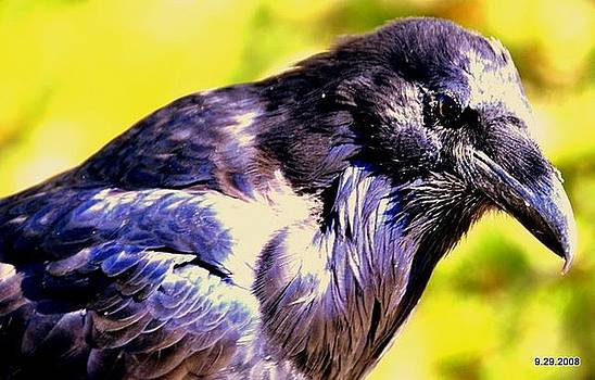 Crow In Yellow Stone Park by Aron
