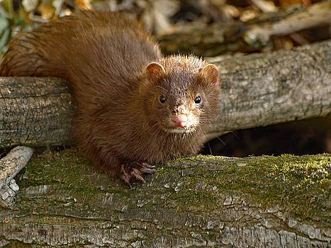 Curious Mink by James Peterson