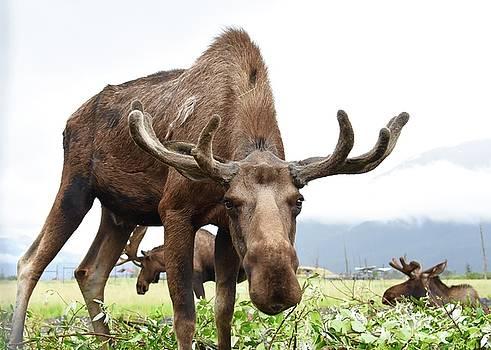 Curious Moose by Dacia Doroff