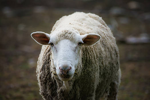 Curious Sheep  by Black Brook Photography