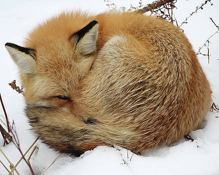 Curled Up Fox by Doris Potter
