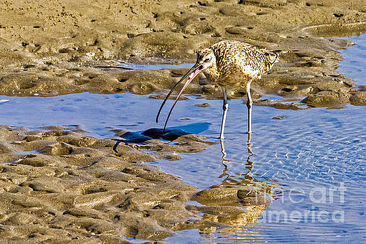 Kate Brown - Curlew Catch