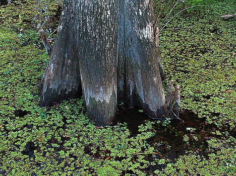 Juergen Roth - Cypress Tree