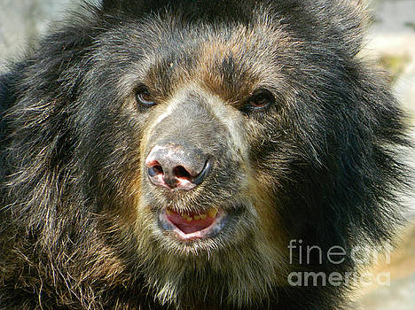 Daddy Cisco The Andean Bear by Emmy Marie Vickers