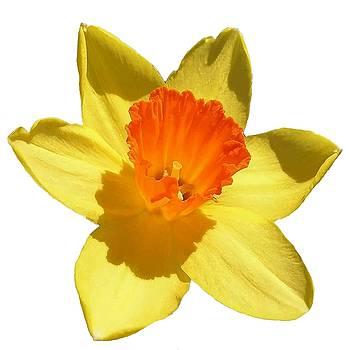Tracey Harrington-Simpson - Daffodil Emblem Isolated On White