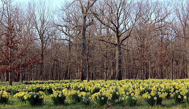 Rosanne Jordan - Daffodil Morning