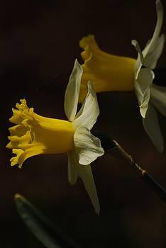 Daffodil by Ramona Whiteaker