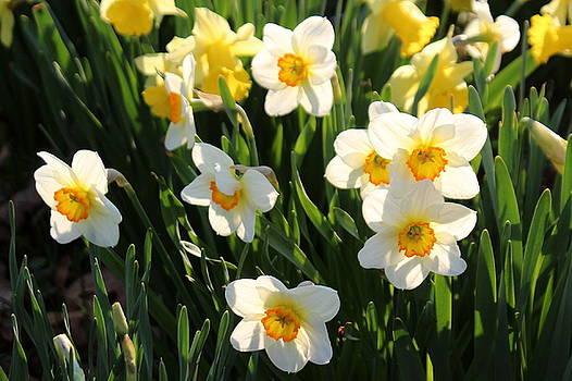 Rosanne Jordan - Daffodil Sunshine