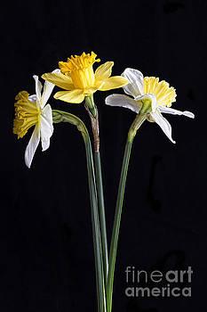 Elena Nosyreva - Daffodils