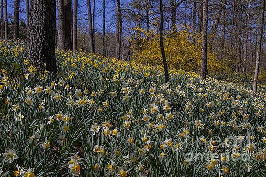 Barbara Bowen - Daffodils on a Hill