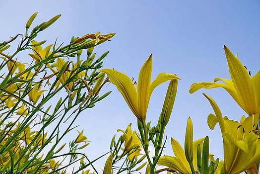 Daffodils by Rob Byron