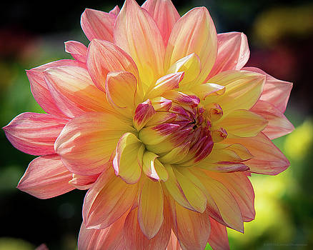 Dahlia in the Sunshine by Phil Abrams
