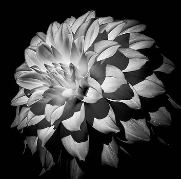 Dahlia Bloom by Athena Mckinzie