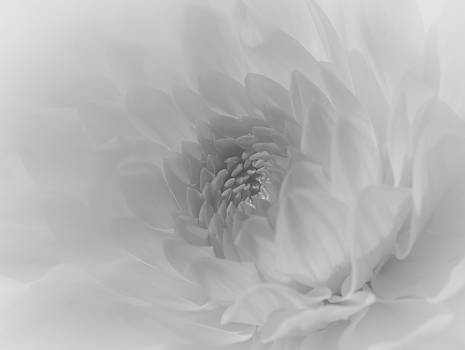 Dahlia in Dreamy White by Kelly McNamara