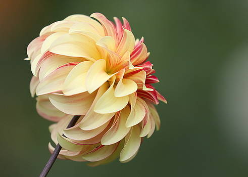 Dahlia in the Sun by DVP Artography