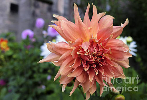 Dahlia - Inverness by Amy Fearn