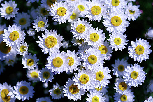 Daisies are like sunshine to the ground. by Fir Mamat