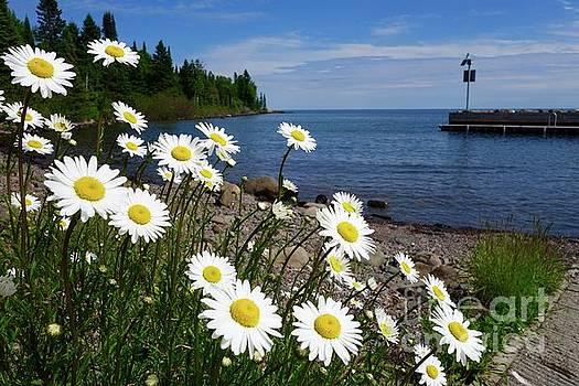 Daisies at Horseshoe Bay by Sandra Updyke