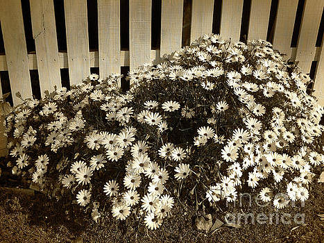 Daisies by the Fence by Kaye Menner by Kaye Menner