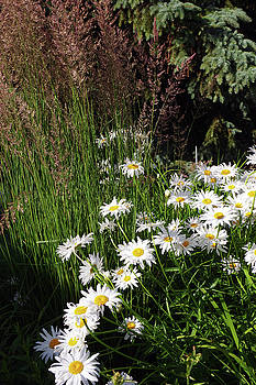 Daisies in Long Grass by Paul Wash