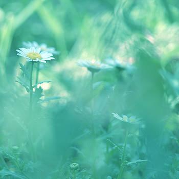 Daisies by Rachel Mirror