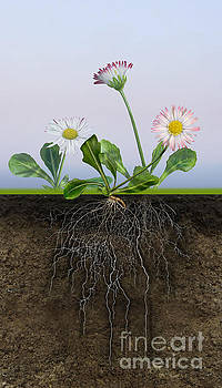 Daisy Bellis perennis - root system - paquerette vivace - Margar by Urft Valley Art