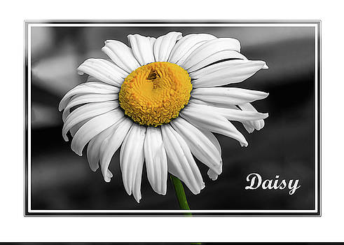 Daisy by Cathy Kovarik