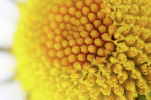 Daisy close-up by Jouko Mikkola