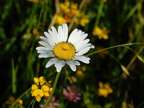 Daisy Day by Nancy Spirakus