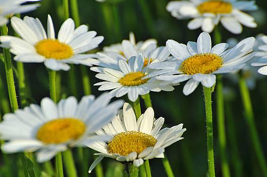 Daisy Field 2 by Peter  McIntosh