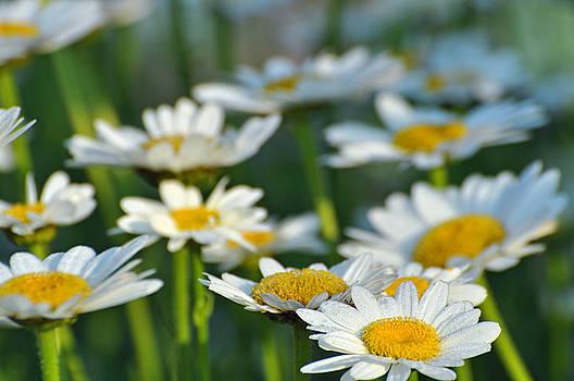 Daisy Field by Peter  McIntosh