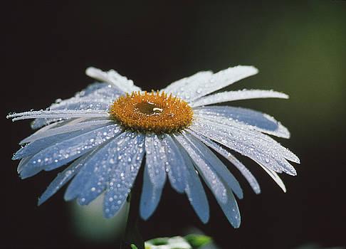 Daisy flower by David Nunuk