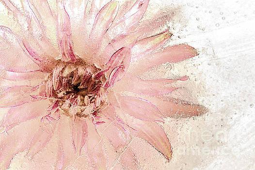 Daisy in Ice by Ann Garrett