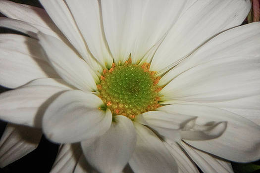 Daisy by Judy Hall-Folde