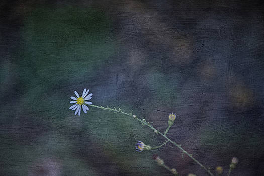 Daisy Love With Dark Expressions by Crissy Anderson