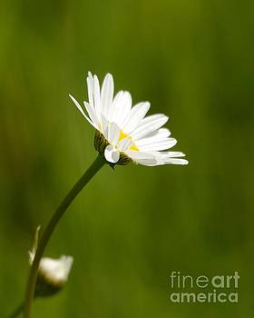 Daisy by Marianne Kuzimski