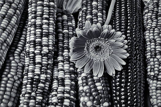 Daisy On Indian Corn Black And White by Garry Gay
