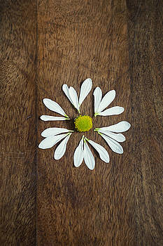 Daisy Petals on Wooden Background  by Di Kerpan
