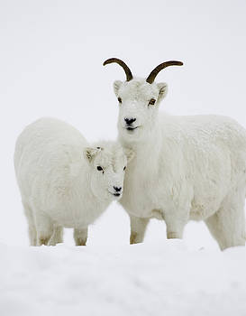 Tim Grams - Dall Sheep in Snow