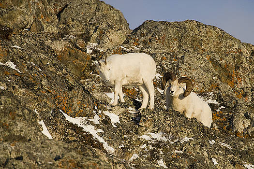 Tim Grams - Dall Sheep on a Mountain Side