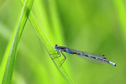 Damselfly W6729 by Wes and Dotty Weber
