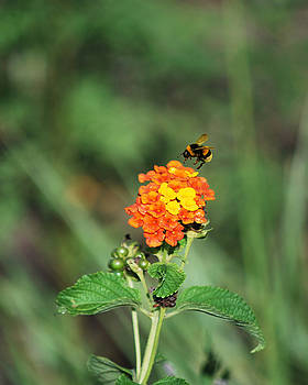Dance of the Bumble Bee by Adele Moscaritolo