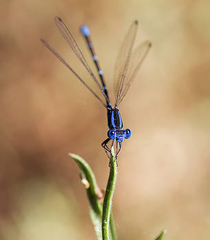 Dance of the damselfly  by Ruth Jolly