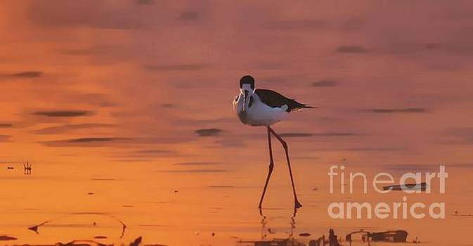 Dance Of The Long Legged Stilt by John Kolenberg