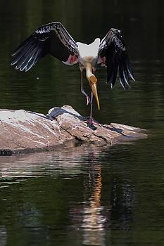 Dancing Painted Stork by Ramabhadran Thirupattur